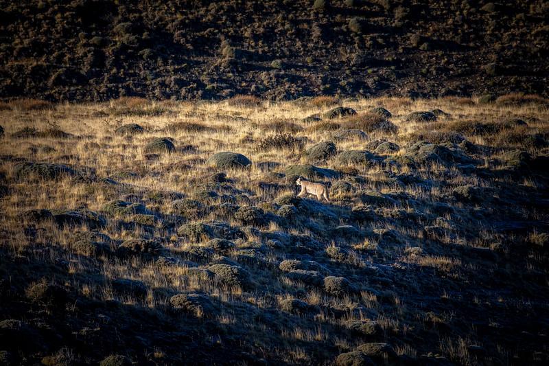 Puma in TdP-2.jpg