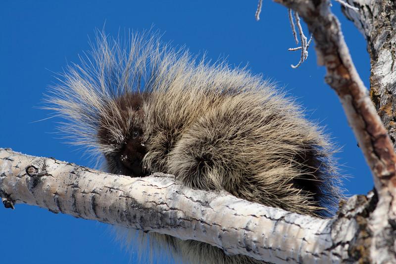 porcupine002.jpg