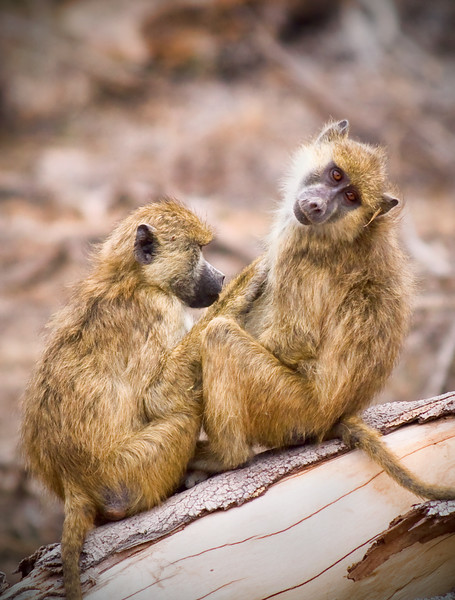 Photograph of two young baboons sitting on a tree grooming each other. Photography fine art photo prints print photos photograph photographs image images artwork.