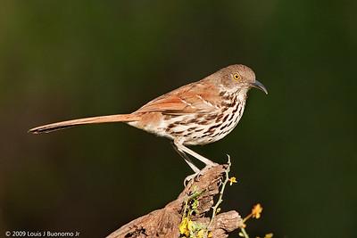 Mockingbirds and Thrashers (Mimidae)