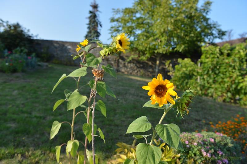Sunflower Lonay_20092020 (16).JPG