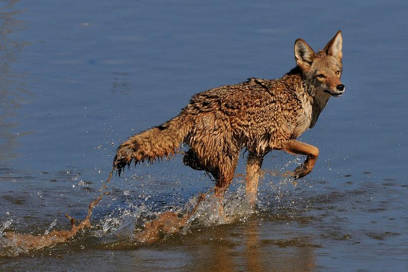 wet_coyote01.jpg