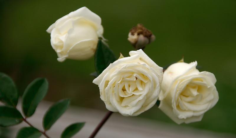 Roses at the Antique Rose Emporium.
