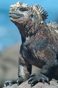 Marine Iguanas for Sebastian
