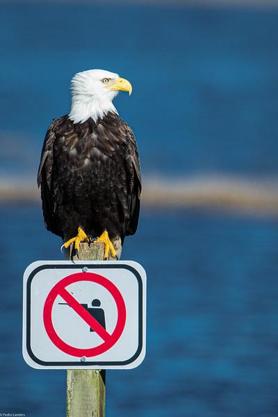 Bald Eagle  - No Hunting