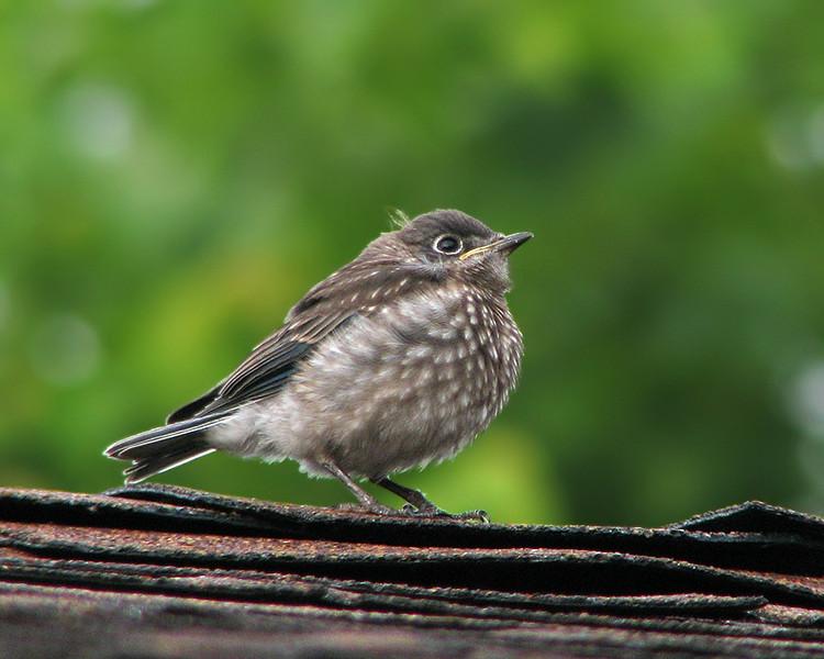 bluebird_fledgling_1135.jpg