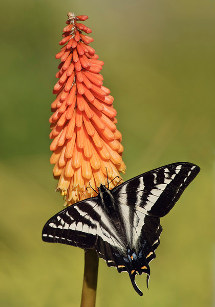 Pale Tiger Swallowtail Butterfly on Torch Lily