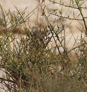 Kaspiankerttu (Sylvia mystacea)