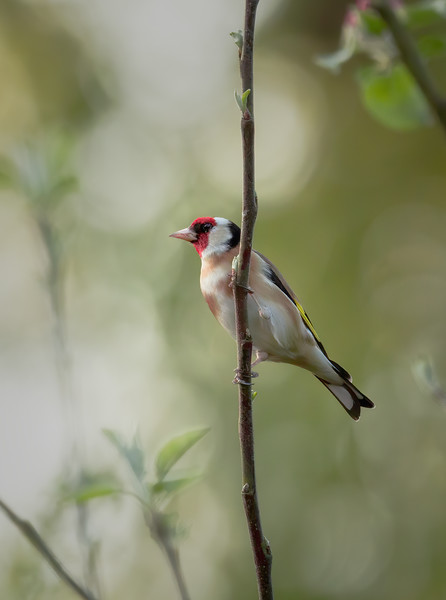 2020 - Goldfinch (April) 003