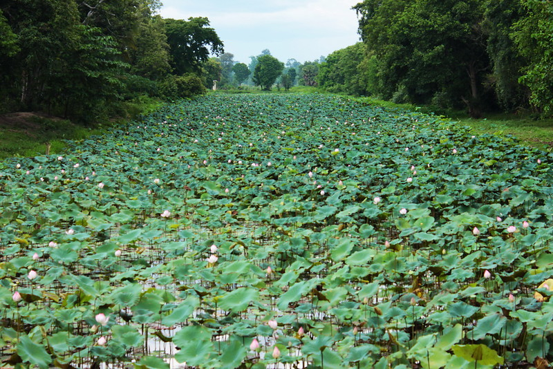 Lotus filling the moat surrounding the temple
