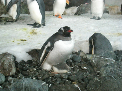 Fatty baby penguin! It can't possibly be warm at this point!  Half of its body is still exposed!
