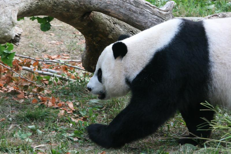 Panda080407_0002.JPG