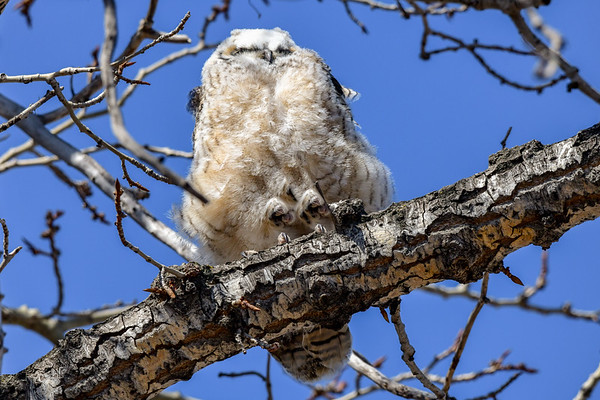 4-19-18 Great Horned Owlets - The Many Moods