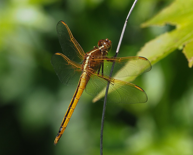 Needham's Skimmer, young male