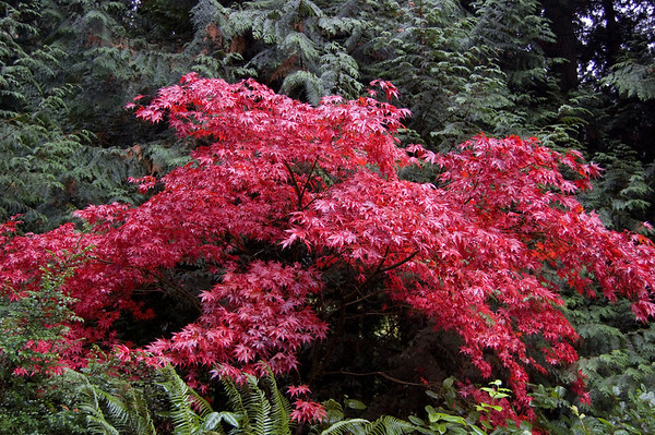 bright red maple