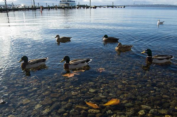 ducks, leaves, seattle