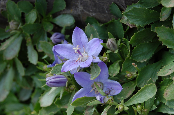 piper's bellflower