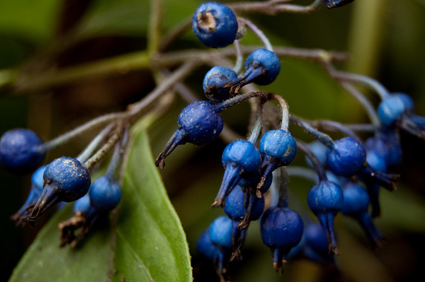 dark blue berries