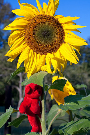 Red hangs out on a sunflower at the farm