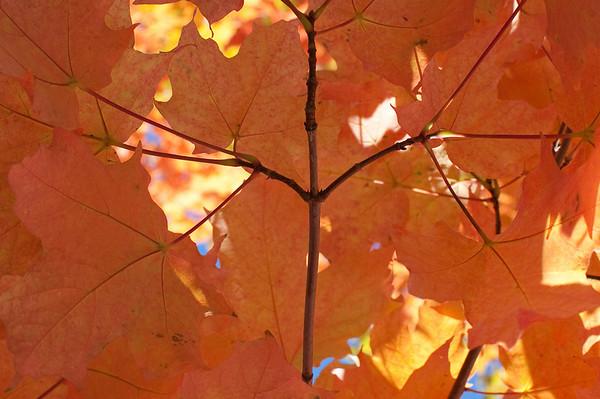 orange leaves in downtown Bainbridge Island
