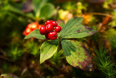 Canadian Bunchberry  (Cornus canadensis) growing in abundance along the trails.